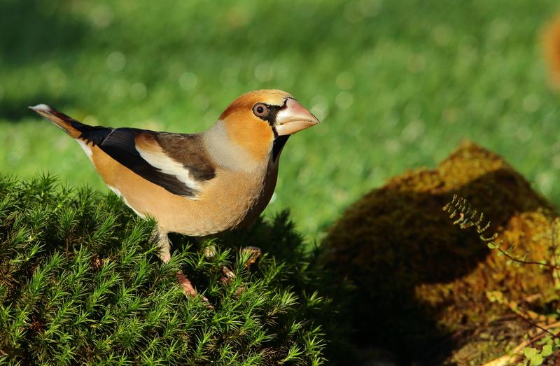 Les oiseaux de mon jardin ou des abords directs - Page 2 Aa_gro14