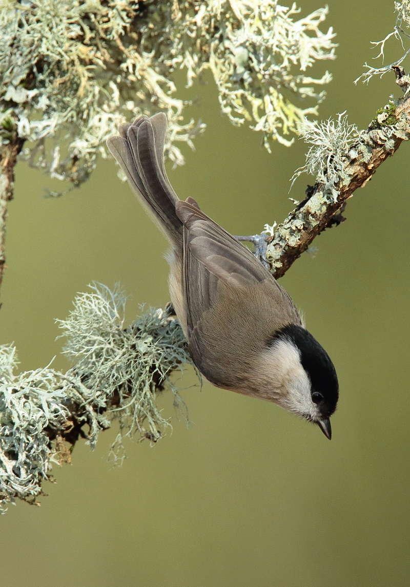 Les oiseaux de mon jardin ou des abords directs Aa_mys15