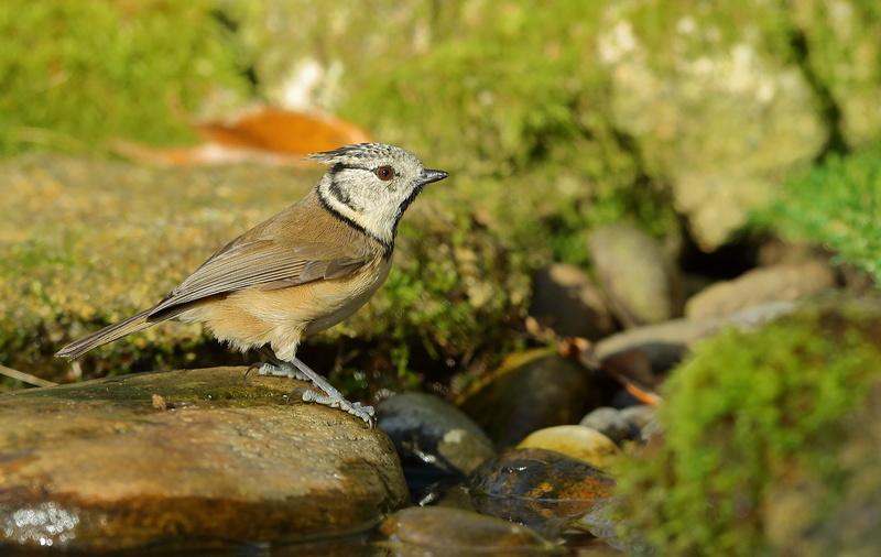 Les oiseaux de mon jardin ou des abords directs Aa_mys17