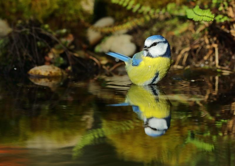 Les oiseaux de mon jardin ou des abords directs Aa_mys24
