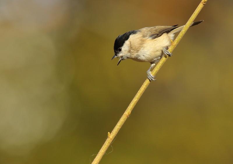 Les oiseaux de mon jardin ou des abords directs Aa_mys25
