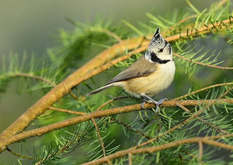 Les oiseaux de mon jardin ou des abords directs - Page 2 Aa_mys31