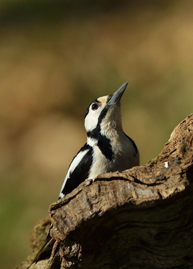 Les oiseaux de mon jardin ou des abords directs Aa_pic15