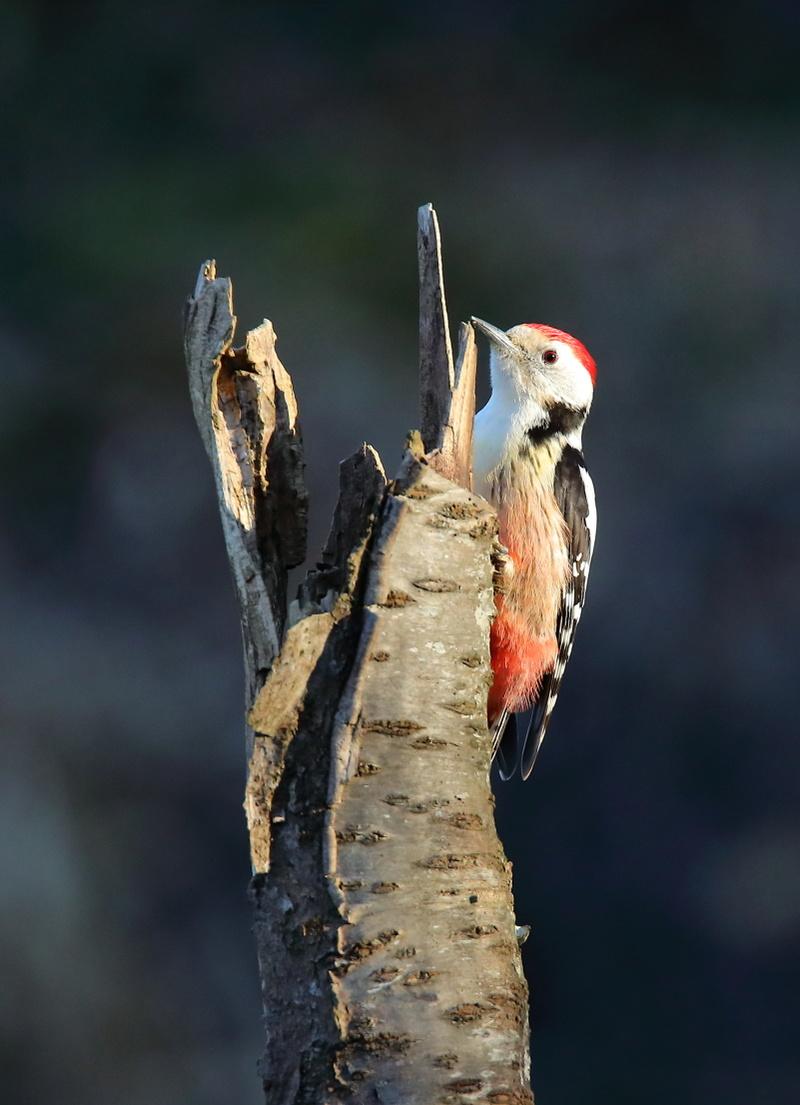 Les oiseaux de mon jardin ou des abords directs Aa_pic16