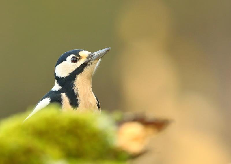Les oiseaux de mon jardin ou des abords directs - Page 2 Aa_pic29