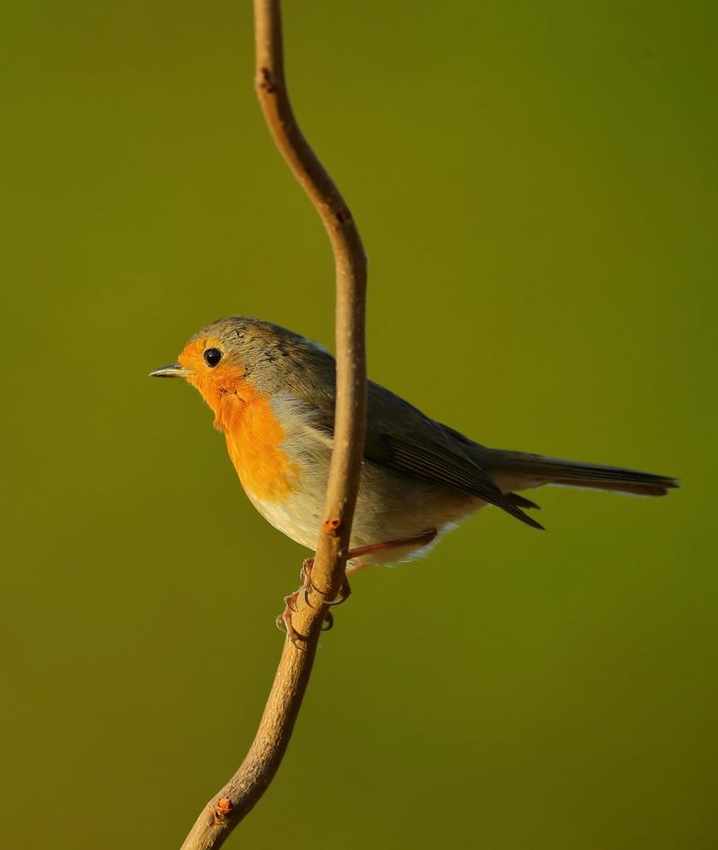 Les oiseaux de mon jardin ou des abords directs Aa_rou12