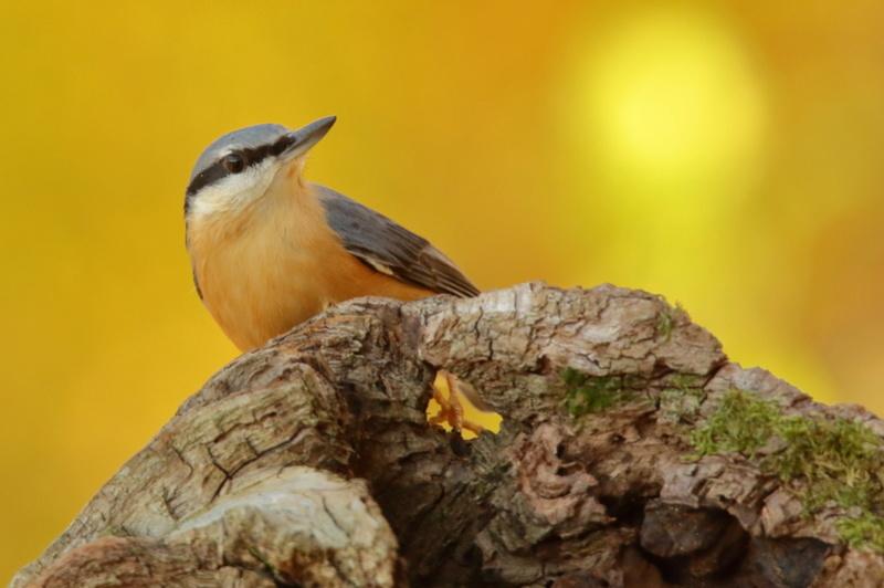 Les oiseaux de mon jardin ou des abords directs Aa_sit17