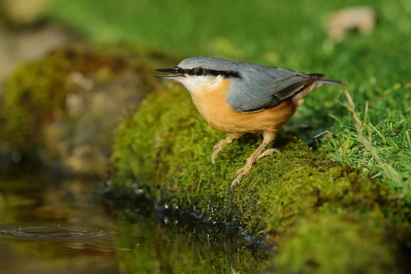 Les oiseaux de mon jardin ou des abords directs Aa_sit18