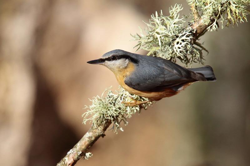 Les oiseaux de mon jardin ou des abords directs I_sitt10