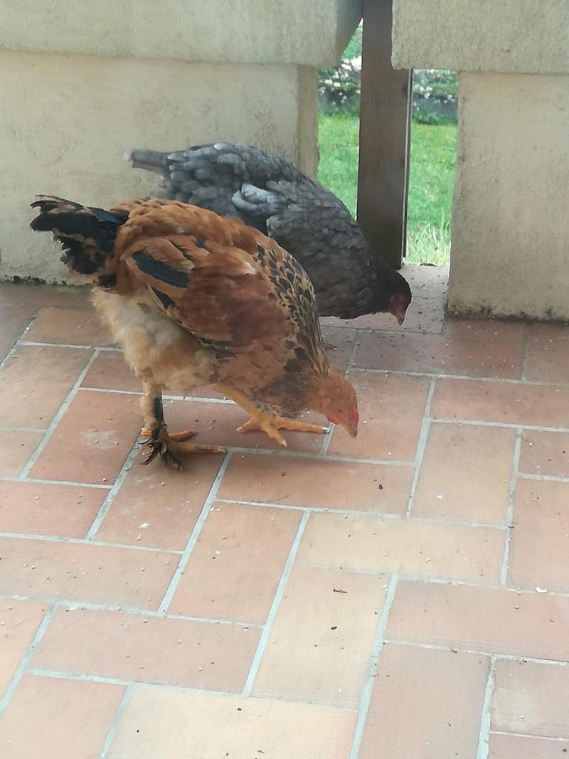 Besoin d'aide poule ou coq? Img_2011