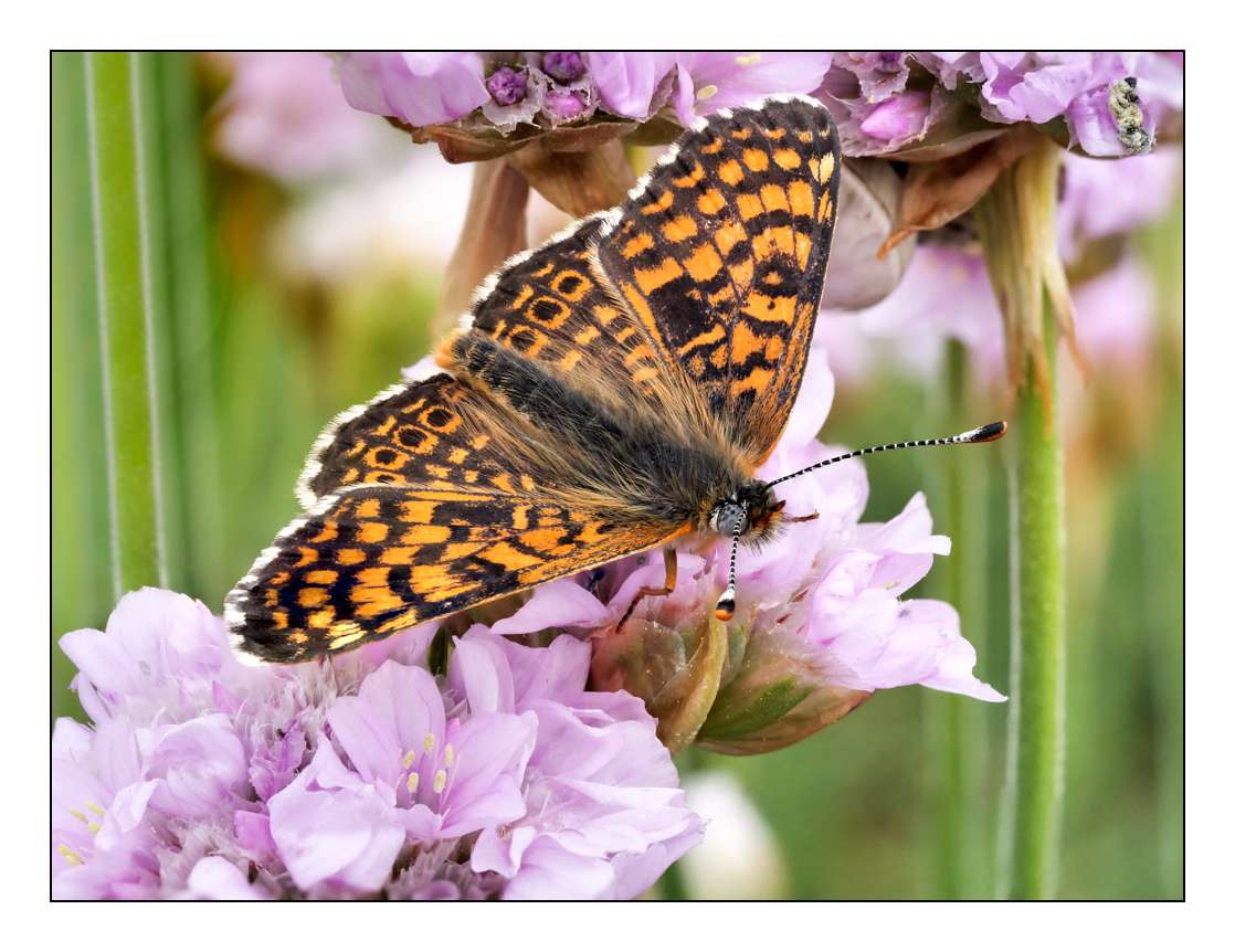 A la chasse aux papillons P1005410