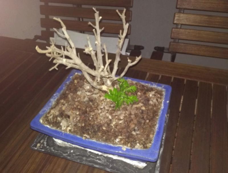 Bonsai seco, rebrote desde suelo, Y presentación. Ficus_10