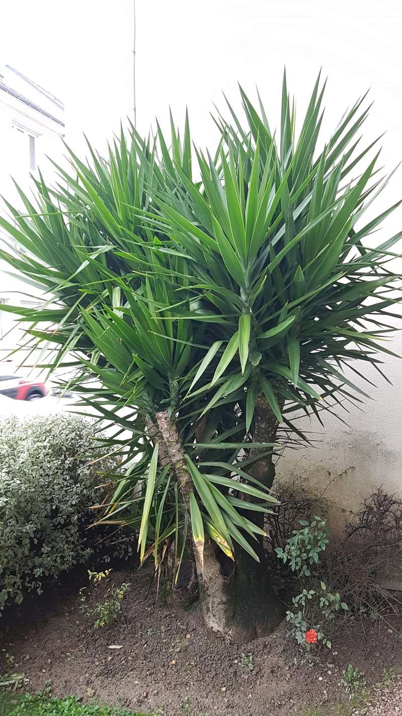 Yucca elephantipes - Yucca gigantea - Yucca guatemalensis - Page 4 20180158