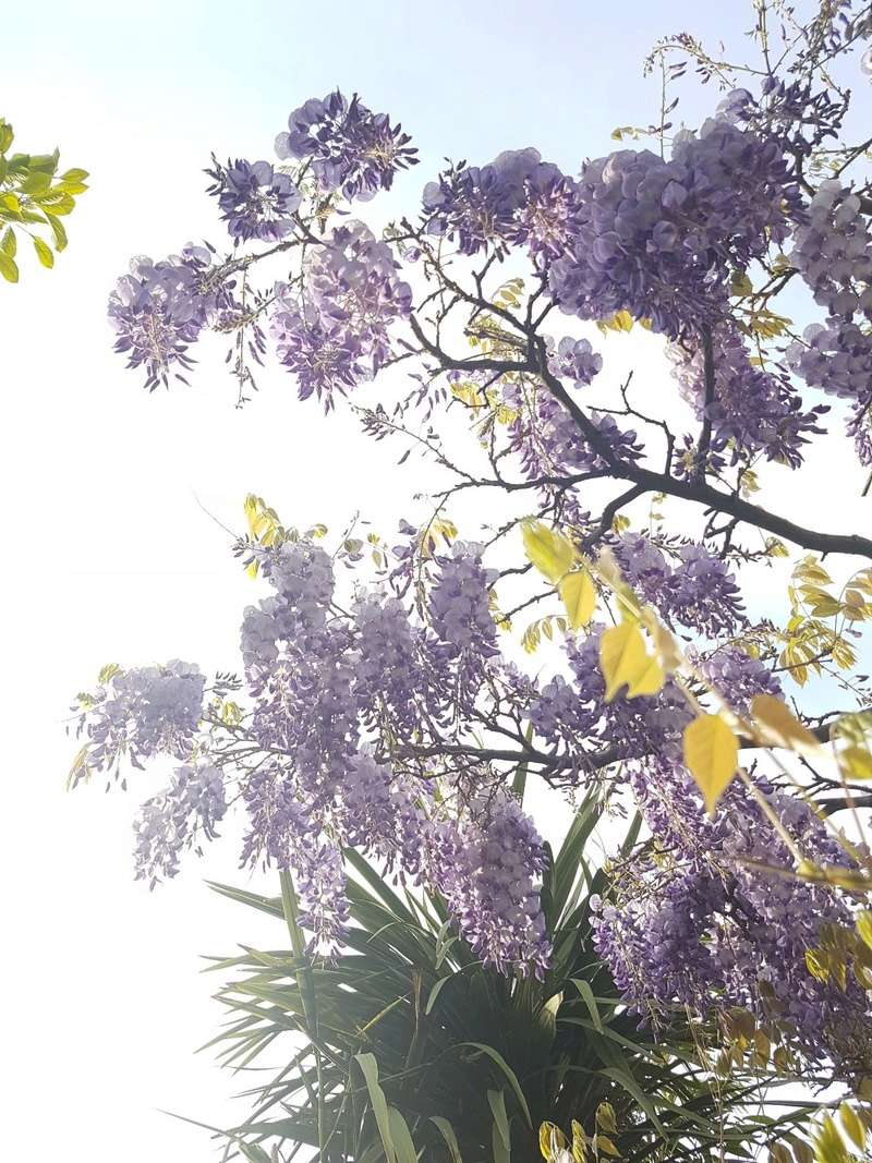 Wisteria - les glycines  - Page 6 20180206