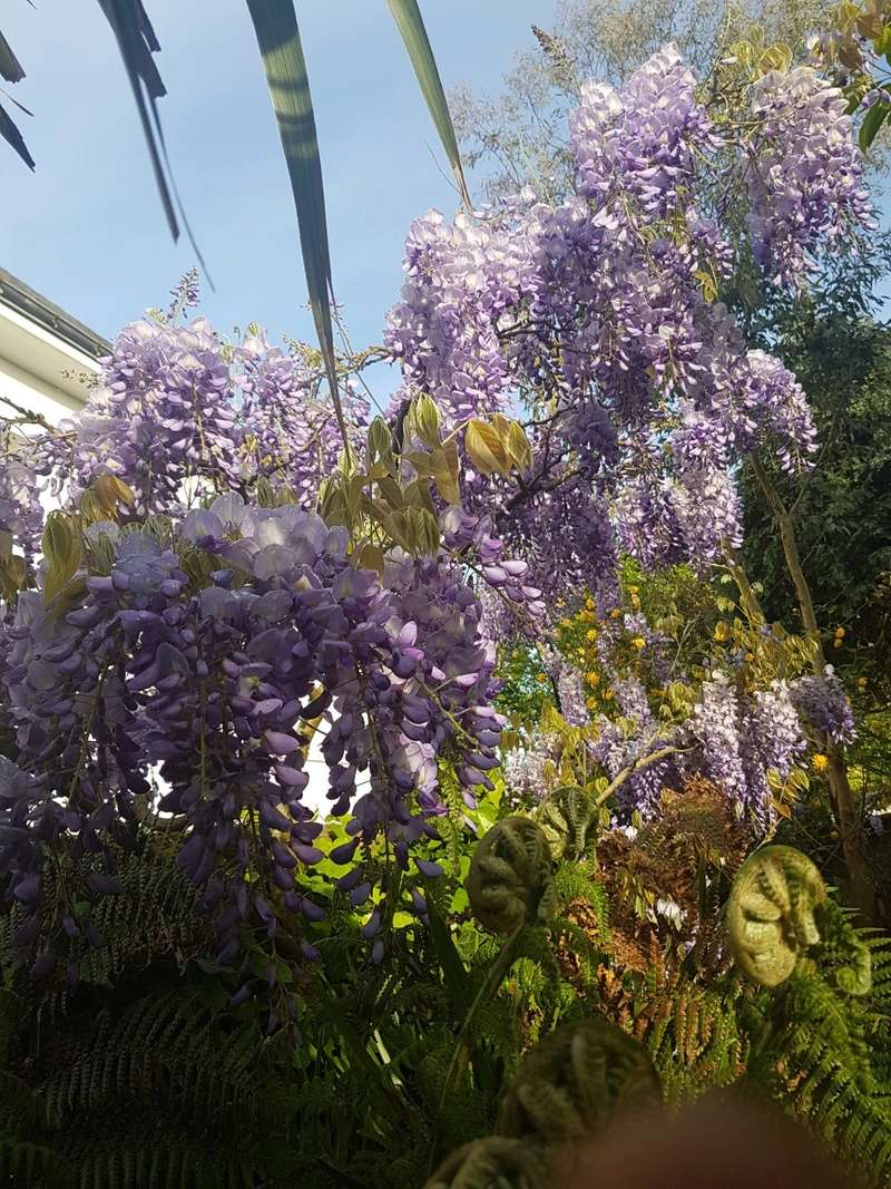 Wisteria - les glycines  - Page 6 20180207
