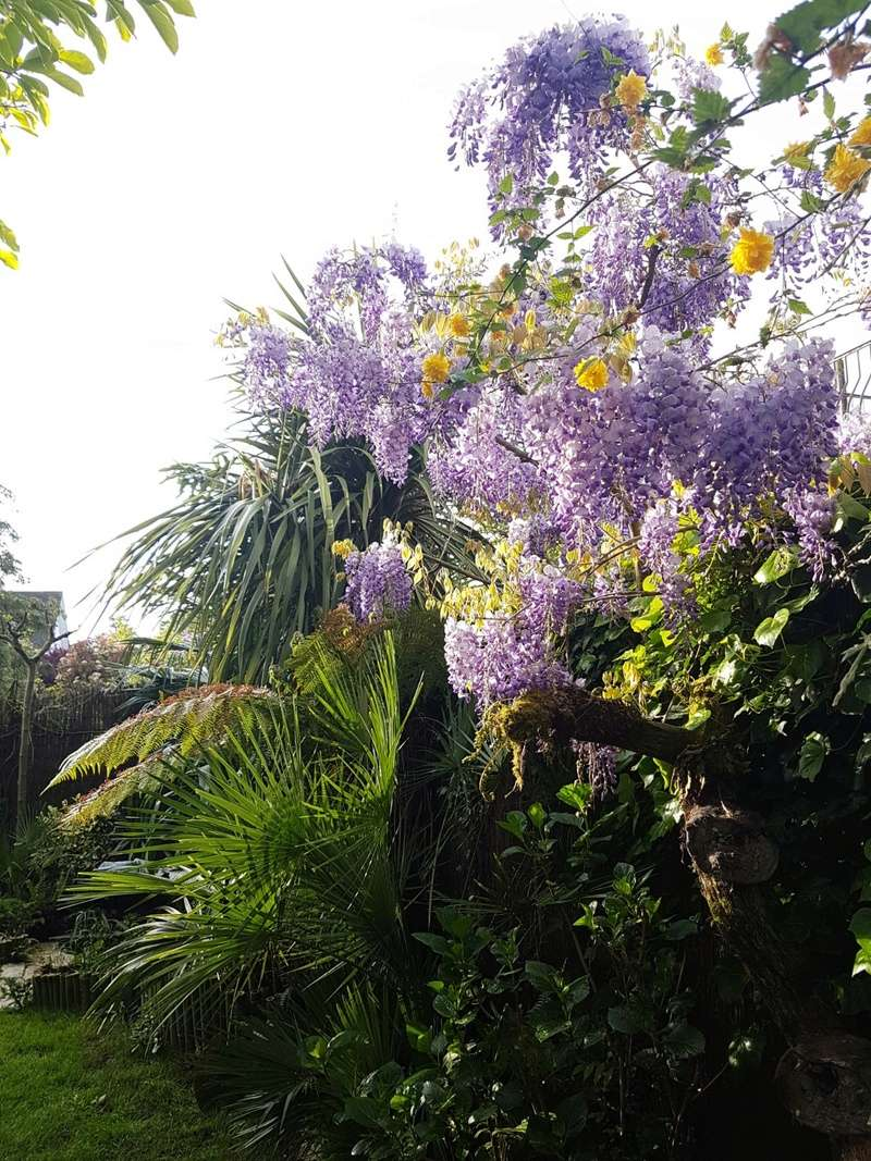 Wisteria - les glycines  - Page 6 20180208