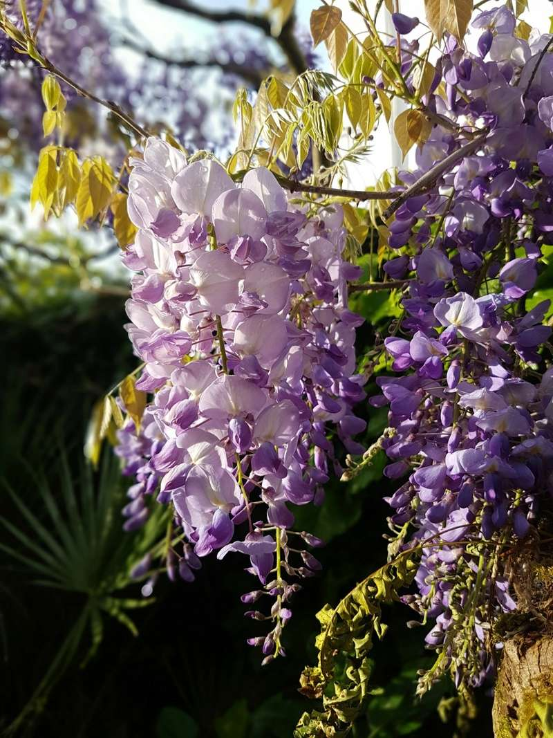 Wisteria - les glycines  - Page 6 20180209