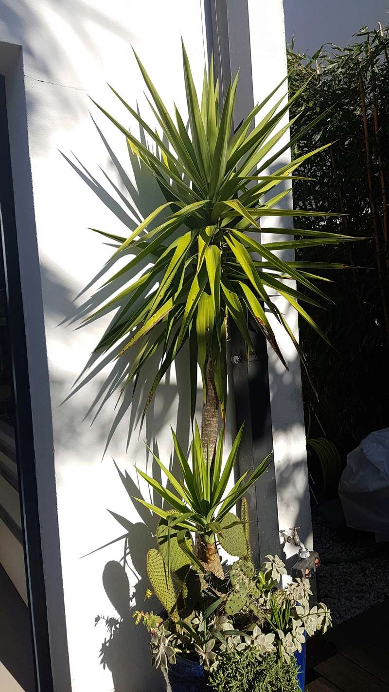 Yucca elephantipes - Yucca gigantea - Yucca guatemalensis - Page 4 20180216
