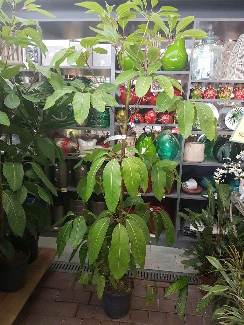 Schefflera actinophylla - [identification] 20180248