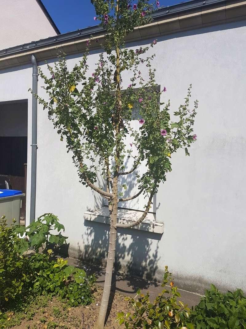 Malva arborea (= Malva dendromorpha) - mauve en arbre - Page 2 20180259
