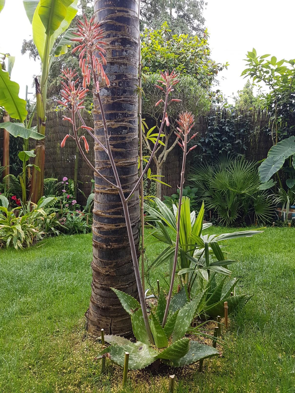 Aloe maculata et Aloe grandidentata - différencier  20180308