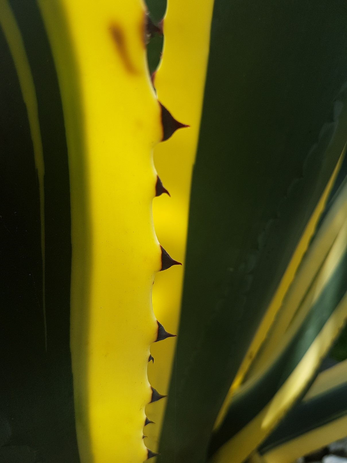 Agave americana  - Page 3 20180358