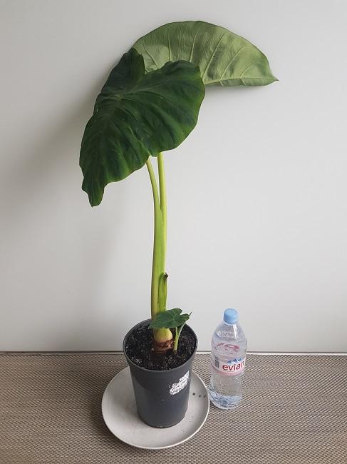 Colocasia esculenta - taro - Page 10 20180423