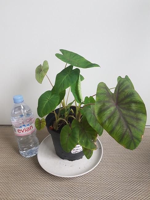 Colocasia esculenta - taro - Page 10 20180426