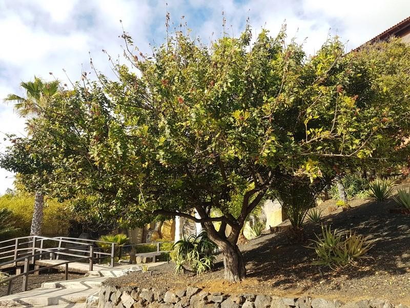 Schinus terebinthifolia - arbre aux baies roses 20180487