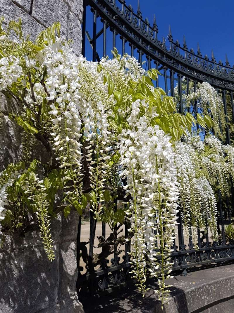 Wisteria - les glycines  - Page 6 20180510