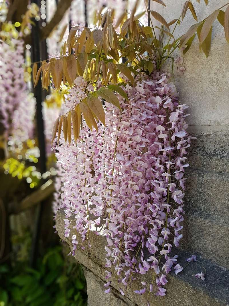 Wisteria - les glycines  - Page 6 20180512