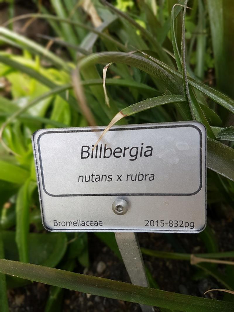 Billbergia nutans - Page 4 20180513