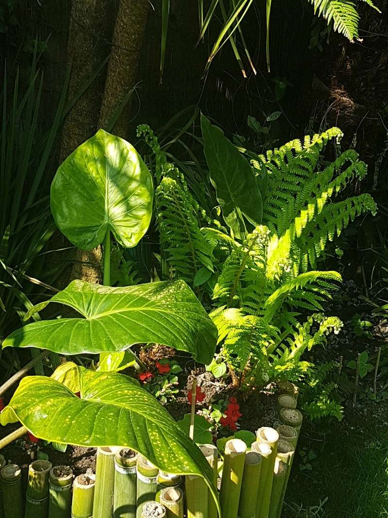 Rémi - Mon (tout) petit jardin en mode tropical - Page 7 20180558
