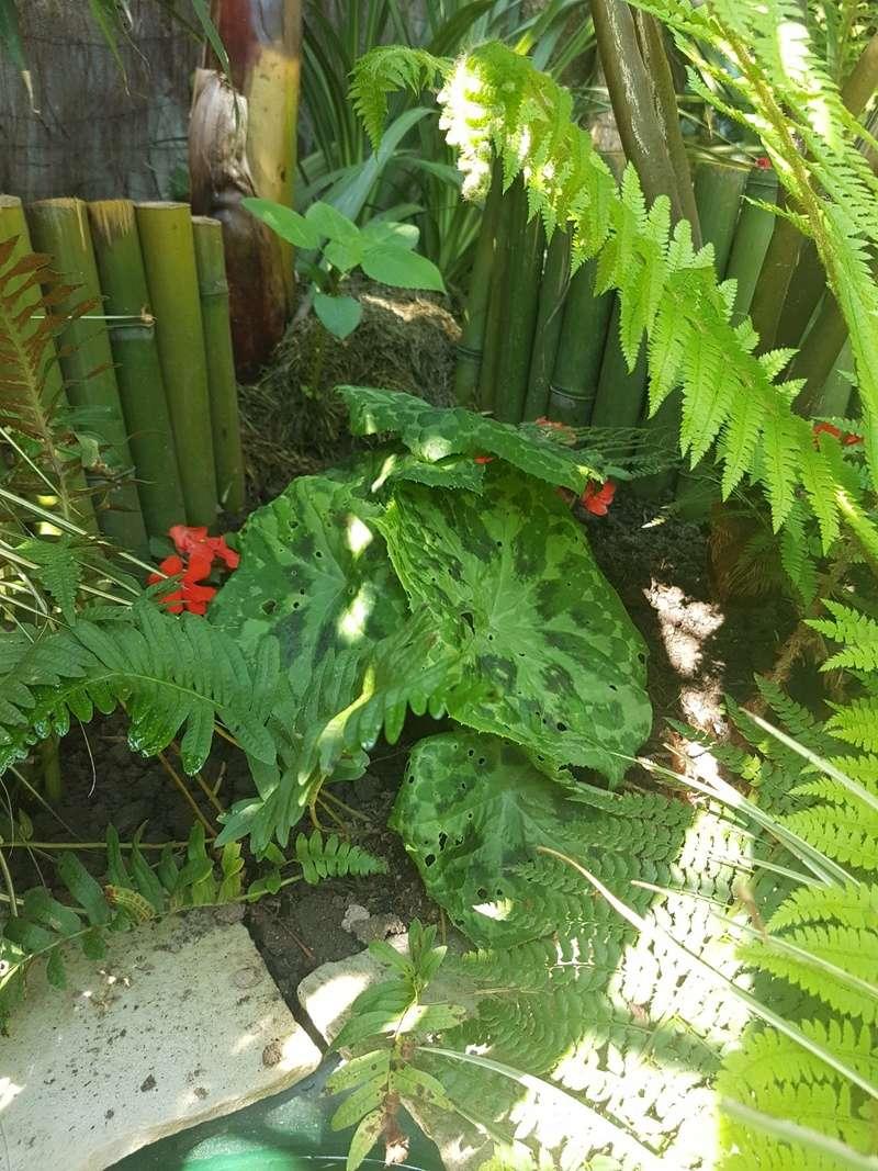 Rémi - Mon (tout) petit jardin en mode tropical - Page 7 20180561