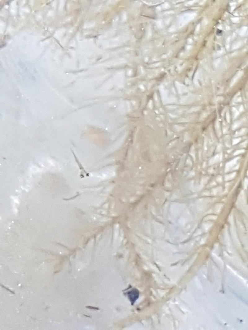 Pistia stratiotes - laitue d'eau 20180567