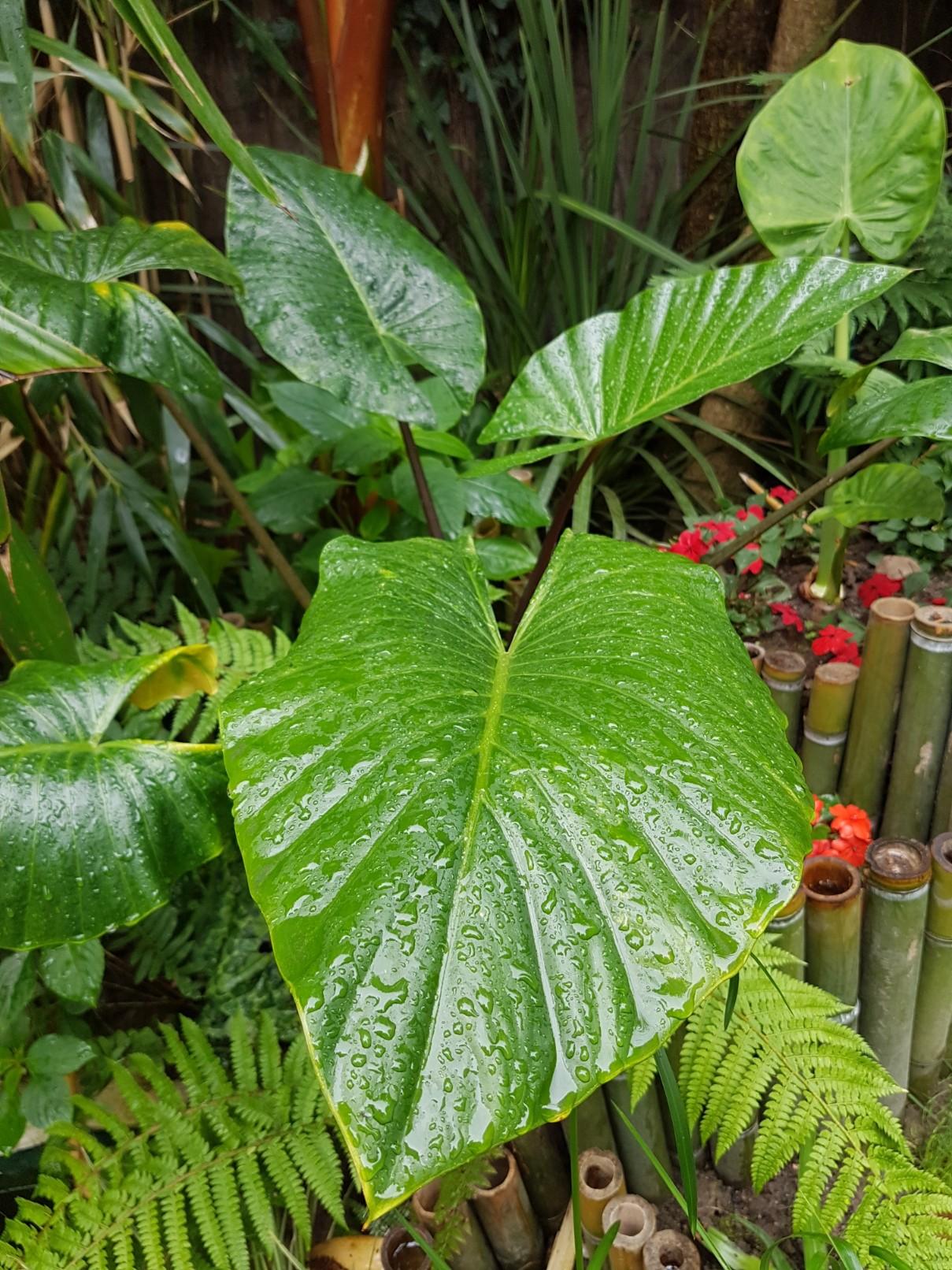 Rémi - Mon (tout) petit jardin en mode tropical - Page 7 20180628