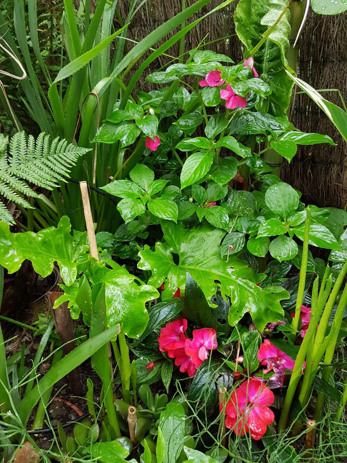 Rémi - Mon (tout) petit jardin en mode tropical - Page 7 20180630