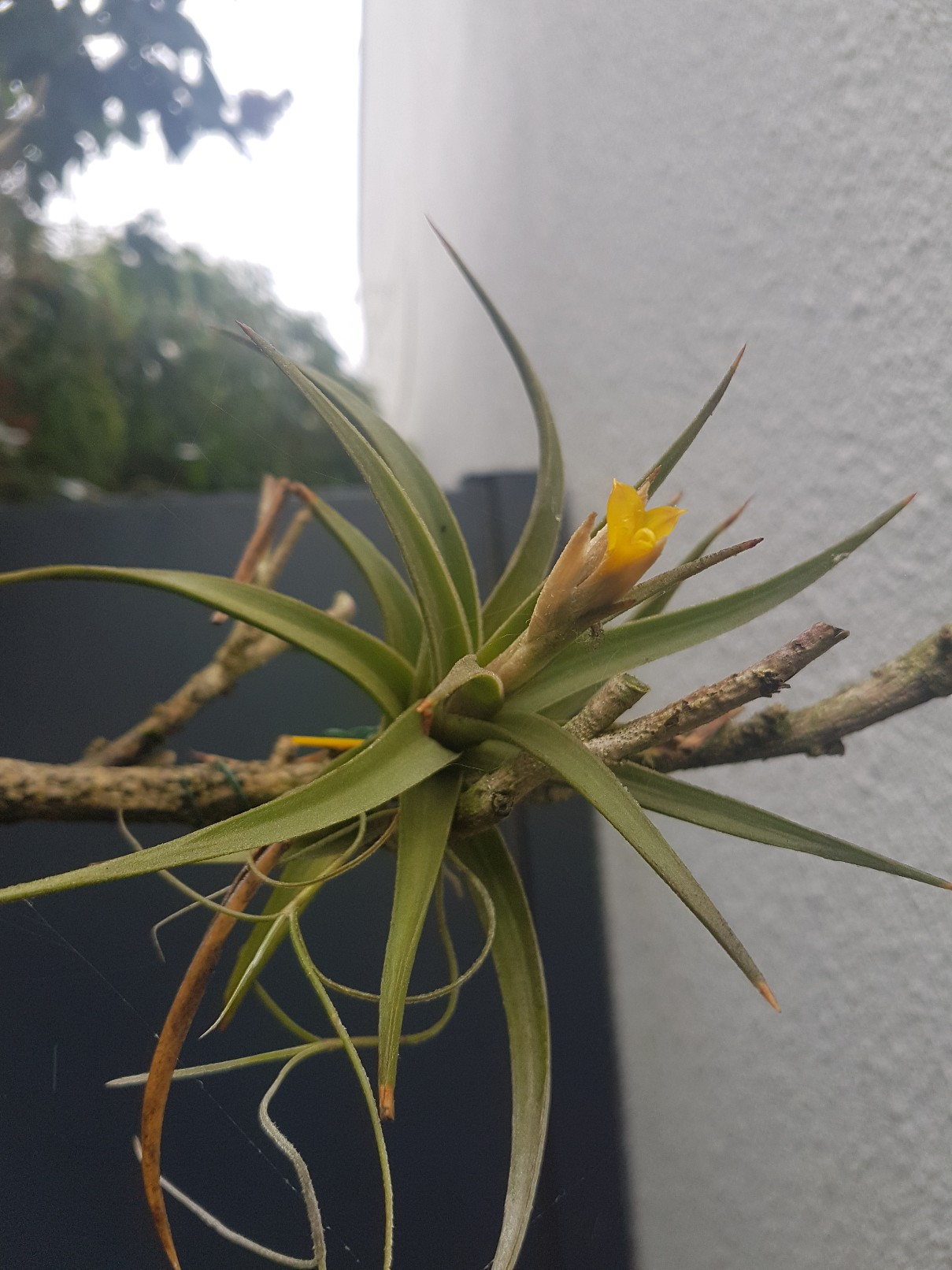Tillandsia 'White Star' 20180634