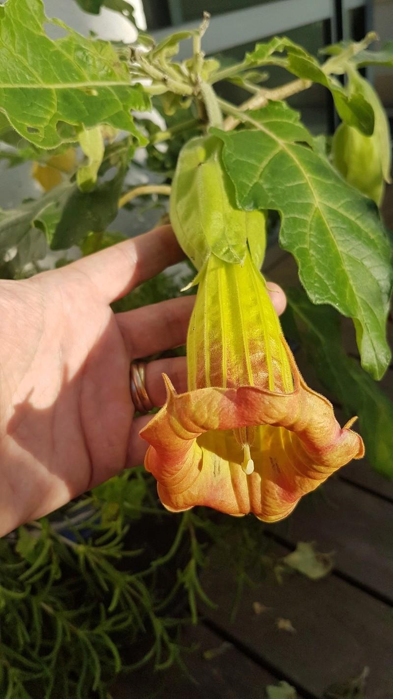 Brugmansia sanguinea - Page 2 20181211