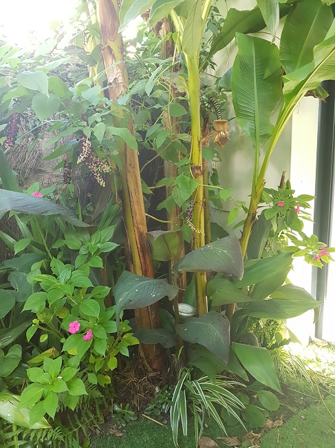 Mon (tout) petit jardin en mode tropical Aprys_21