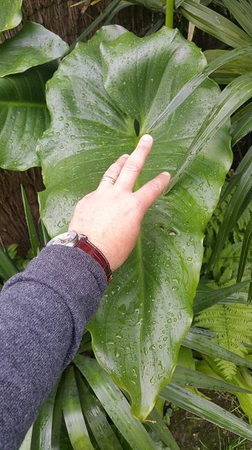 Mon (tout) petit jardin en mode tropical Arum_m10