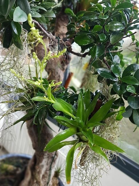 Catopsis morreniana (Tillandsia vert) Catops10