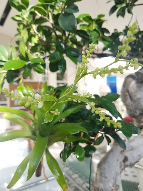 Catopsis morreniana (Tillandsia vert) Catops11