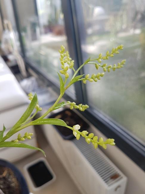 Catopsis morreniana (Tillandsia vert) Catops12