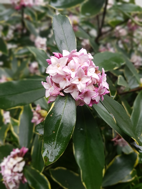 Daphne odora 'Aureomarginata' - Page 2 Daphny12