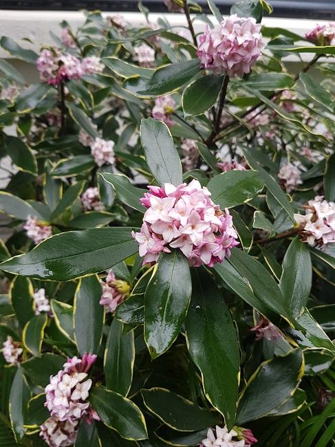 Daphne odora 'Aureomarginata' - Page 2 Daphny13