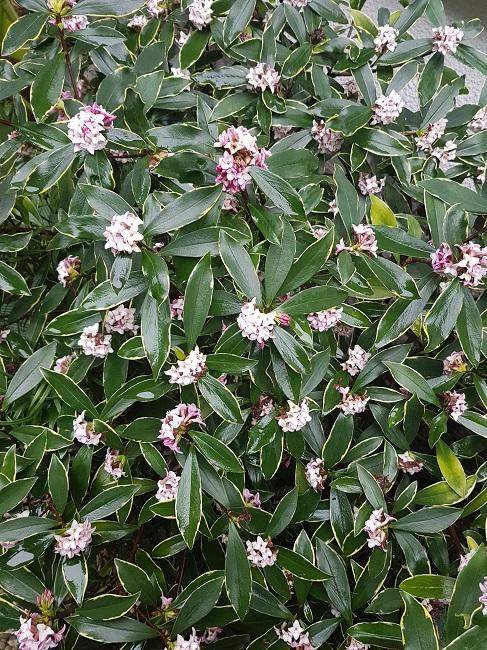 Daphne odora 'Aureomarginata' - Page 2 Daphny14