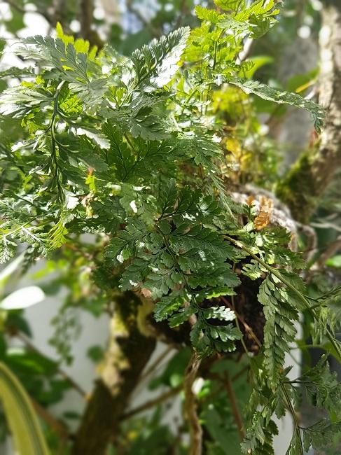 Support à épiphytes et broméliacées rustiques - Page 2 Davall10