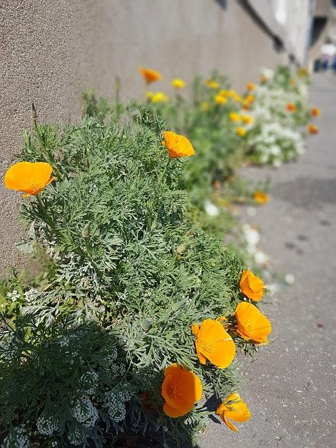Végétaliser un trottoir Fleurs10
