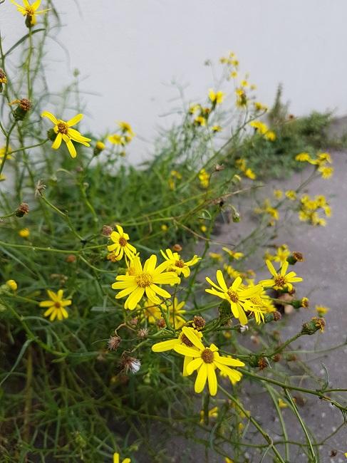 Végétaliser un trottoir Fleurs12